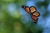 Laptop Skin Butterfly 086